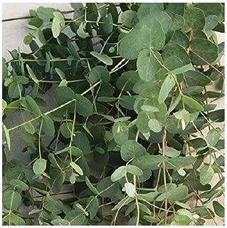 David's Garden Seeds Flower Eucalyptus Silver Drop 1505 (Green) 50 Non-GMO, Open Pollinated Seeds