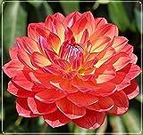 4 Colores Diferentes-Bulbos de Dalia,Venda Bulbos De Dalia,Plantas En Macetas,Al Aire Libre,Hermoso Color,Apariencia Extraña-2 Bulbs,C