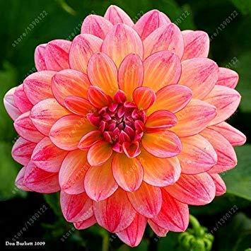 prime vista Echte Dahlienzwiebeln, Dahlienblüte, Bonsaiblumenzwiebeln, (nicht Dahliensamen), mehrjährige Pflanze Topfbauchige Wurzel für Garten 2 Stück 3