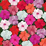 Outsidepride Impatiens Clear Mix - 100 Seeds