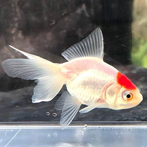 (金魚)国産 丹頂 弥富産 (1匹)【生体】