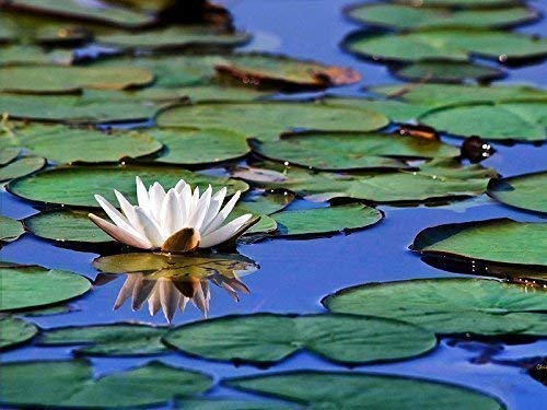 Nature Photography Prints Flower Pictures Fine Art Flower Photography Prints Water Lilies Flower Print Tropical Wall Art Waterlily Photo