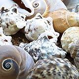 Baker Ross Confezione decorativa naturale Grande conchiglia di mare per le arti estive e l'artigianato Collage Display DIY (confezione da 500g)