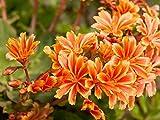 Qulista Samenhaus - Selten Bitterwurz 'Elise' gemischt Blumensaat Porzellanröschen Lewisia cotyledon, Blumensamen Mischung winterhart mehrjährig für sonnige Beete und Steingärten