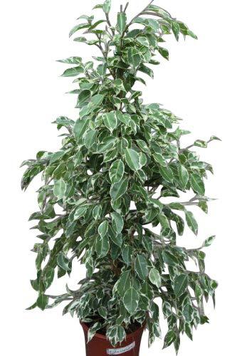 Plante d'intérieur - Plante pour la maison ou le bureau - Ficus benjamina - Figuier pleureur panaché, hauteur 80 cm - PRIX RÉDUIT