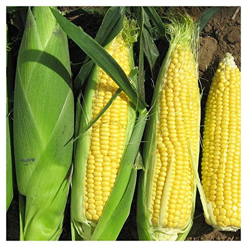 Portal Cool Truckers Favorite Yellow Corn 100 Op Non GMO Heirloom Great for Roasting