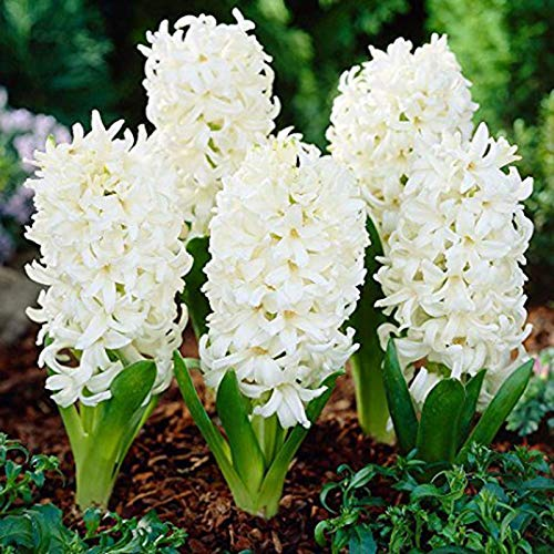 puran 300 Stück / Beutel Hyazinthe Samen – Umweltfreundlich, einfach zu pflanzen, frische Hyazinthe Blumensamen, wachsen Sie Ihre eigenen Blumen, ideal für Container, weiße Hyazinthensamen