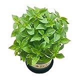Semillas de albahaca de hoja grande 50 piezas (Ocimum basilicum) Semillas de plantas de hierbas premium frescas anuales culinarias orgánicas para plantar jardín en casa