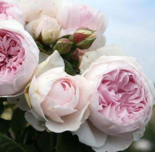 'Herzogin Christiana' -R-, Duft-Beetrose, ADR-Rose, A-Qualität Wurzelware