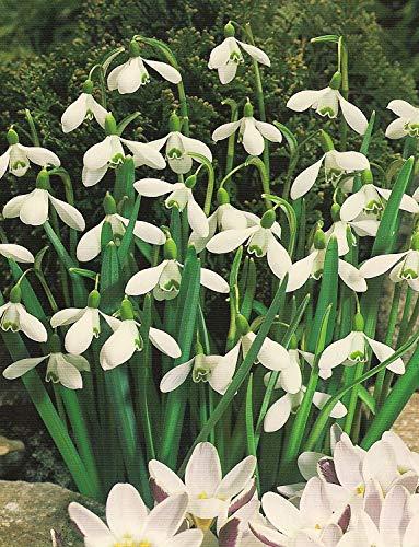 Schneeglöckchen Galanthus (50 Blumenzwiebeln)
