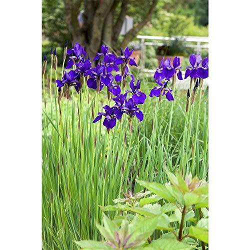 Iris sibirica 'Mountain Lake' - Bartlose...