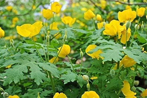 Gregpol - 5 Celandine Yellow Poppy Bulb (Stylophorum eiphyllym)