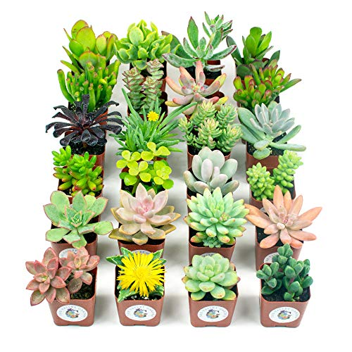 Succulent Plants, Fully Rooted in Planter Pots with Soil - Real Live Potted Succulents, Hand Selected Randomly Variety Pack of Mini Succulents (24 Pack)