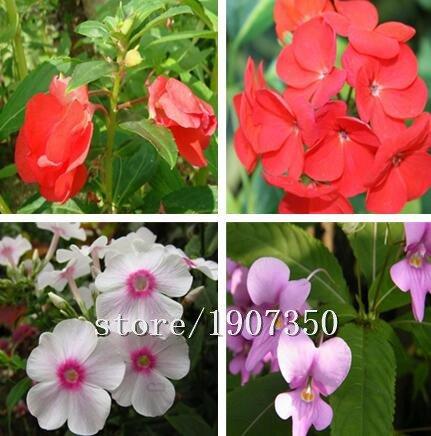 Big vente 100pcs / 1 paquet Balsamine graines graines de balsamine bonsaï fleurs graines colorées fleurs graines de plantes