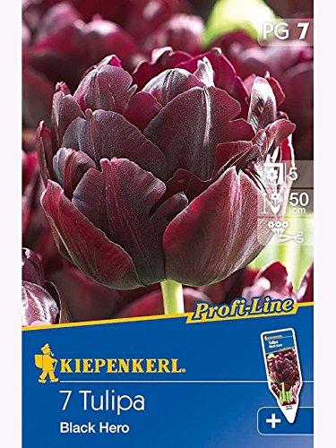 Gefüllte späte Tulpen Black Hero purpur-schwarz