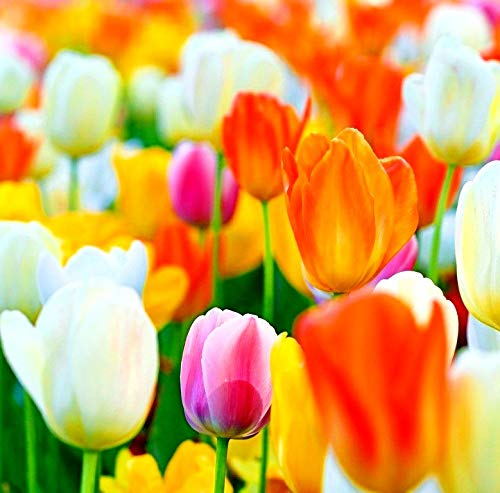 Navya germination Tulip Mix Bulbs Pack of 5 Imported & Hybrid For Your Home Plant & Gardening.