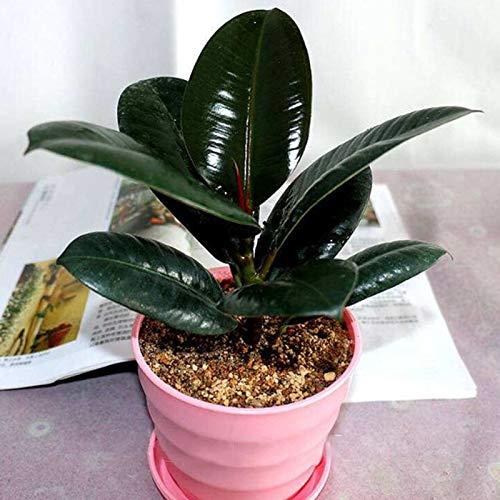 TENGGO Egrow 50Pcs/Pack Indian Rubber Tree Semillas Raro Bonsai Ficus Elastica Plantas de Interior Purificar Aire Anti Planta de radiación