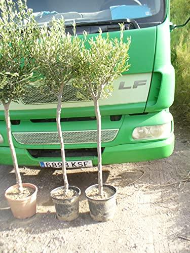 Olivträd – Olea europa –