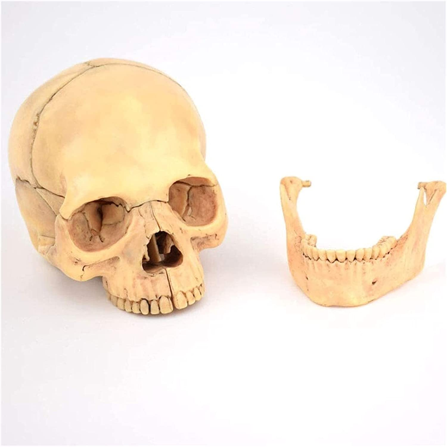 1:2 famous Life Size Today's only Skull Model Teachin Human Classic Anatomical