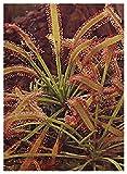 Tropica - Sonnentau (Drosera capensis) - 200 semi incl. substrato...
