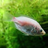 (熱帯魚)キッシンググラミー (約4cm)<3匹>[生体]