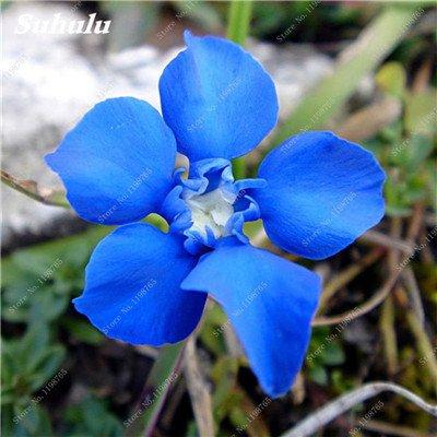 100 Pcs Largeleaf bleu gentiane Graines rares Gentianopsis Graines de fleurs vivaces Bonsai plantes pour jardin Décor Livraison gratuite 9