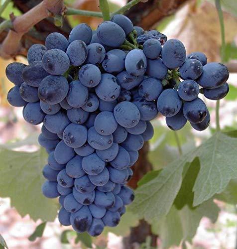 Bag-in-Box-Empfohlener-Rotwein-Leyenda-del-Paramo-Prieto-Picudo-Rotwein-Box-Mit-Zapfhahn-zum-einfachen-Servieren
