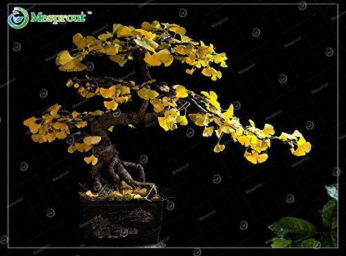 Las semillas de Salvia miltiorrhiza reales Bunge 150pcs Chinese Garden Herbs Tea Bonsai Semillas Salvia miltiorrhiza