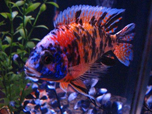 "WorldwideTropicals Live Freshwater Aquarium Fish - 3.5-4"" OB Peacock Cichlid - 3.5-4"" OB Peacock Fish Live Freshwater Fish - Live Tropical Fish - Great for Aquariums - Populate Your Fish Tank!"