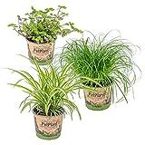 3er Set Haustierverträgliche Zimmerpflanzen | Katzengras, Grünlilie & Kriechende Schönpolster | ⌀12 cm -20-25 cm