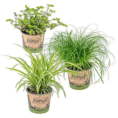 3er Set Haustierverträgliche Zimmerpflanzen   Katzengras, Grünlilie & Kriechende Schönpolster - ⌀12 cm -20-25 cm