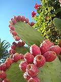 Kaktusfeige, Feigenkaktus, Opuntia Ficus-Indica, 20 Samen