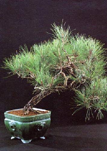 Tropica - Bonsai - Mittelmeer-Pinie (Pinus pinea) - 6 Samen