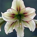 2 Piezas Amarilis Bulbos Hierba Perenne Mágica Colores Exóticos Hippeastrum Flores Listas Para Plantar DIY Balcón Hogar Jardín Decoración