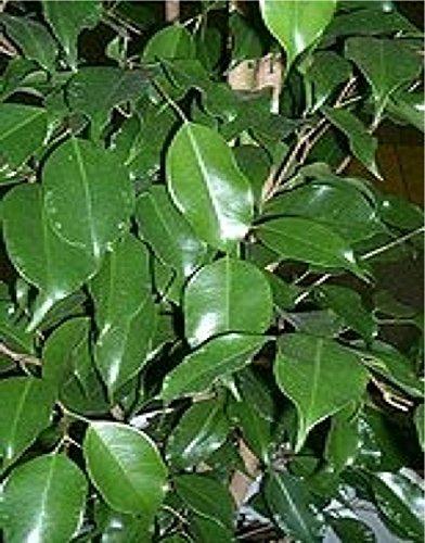 10 semillas de las semillas de Ficus benjamina higo llorón árbol frutal Fig Bonsai