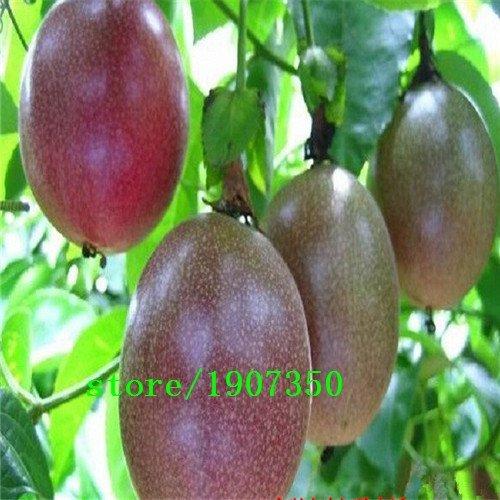 Fournitures de jardin 100 pcs Graines de fruits de la passion exotiques Purple Passiflora edulis Fleur de la passion