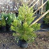 Sequoia gigante'Sequoiadendron giganteum' pianta in vaso ø18 cm