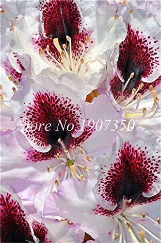 Generic Fresh 100 Stk. Azaleenblumensamen zum Pflanzen von Weißrot
