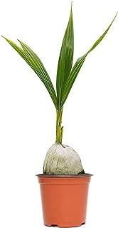 Best dwarf coconut plant Reviews