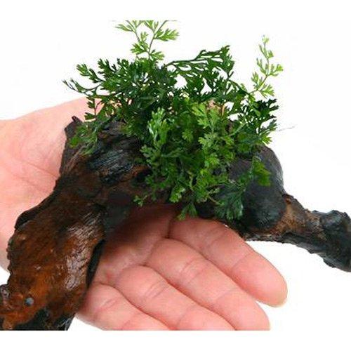(水草)ボルビティスsp.ベビーリーフ付 流木 Sサイズ(1本)(約15cm)
