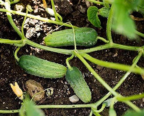 Gurke Calypso F1 - süß und völlig bitterfrei - 10 Samen