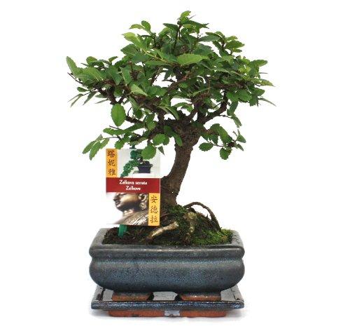 Bonsai chinesische Ulme - Ulmus parviflora - ca. 6 Jahre - Kugelform