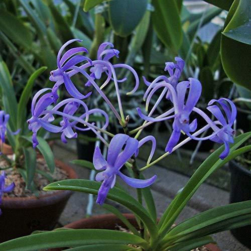 TankMR 100 Stks Zeldzame Orchidee Zaden Planten, Open-Bestuifde, Bijen, Humming Vogels, Vlinders, Bestuivers, Office Garden Decor
