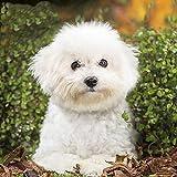 Pintura de diamante 5D con diseño de Bichon Frise blanco para perro, con cristales de diamantes de imitación, para decoración de pared del hogar, regalo