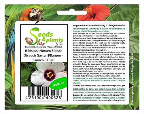 Stk - 5x Hibiscus trionum Eibisch Strauch Garten Pflanzen - Samen B1620 - Seeds Plants Shop Samenbank Pfullingen Patrik Ipsa