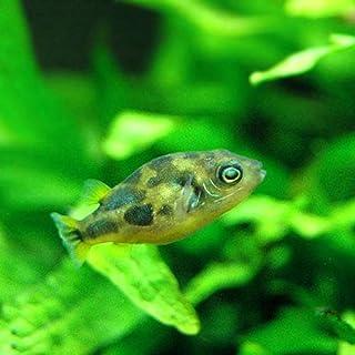 (熱帯魚)アベニーパファー(4匹) 本州・四国限定[生体]