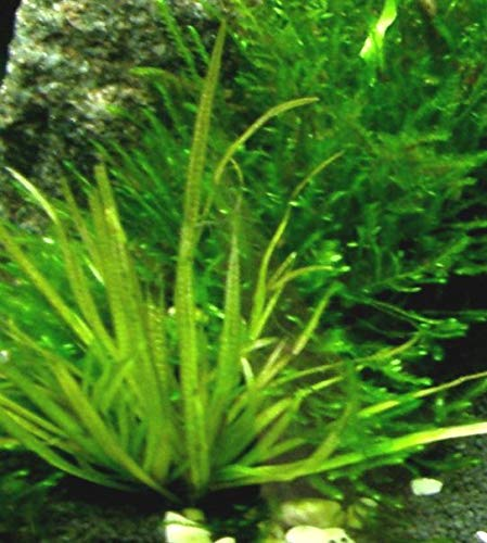 6 Bund – ca. 40 Aquariumpflanzen + Dünger, algenmindern, bunte Unterwasserwelt – Mühlan - 2