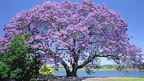 ECOLOGICAL SEEDS OF KIRI (PAULOWNIA TOMENTOSA) FROM MILLENNIAL AND CENTENNIAL TREES