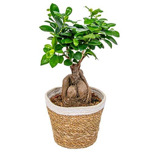 Bonsai Baum | Ficus \'Ginseng\' pro Stück mit dekorativem Korb - Zimmerpflanze cm15 cm - 35 cm