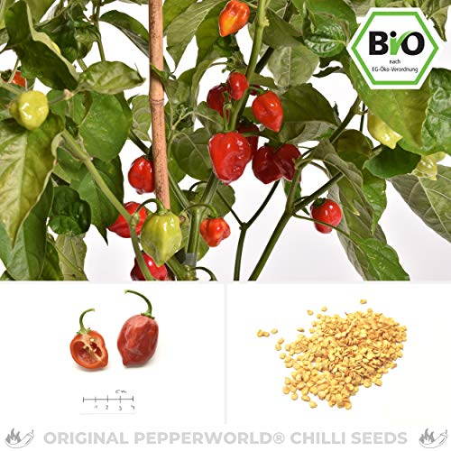 Pepperworld Caribbean Red Bio Chili-Saatgut, 10 Korn, Chili-Schote zum Anpflanzen, extrem-scharf